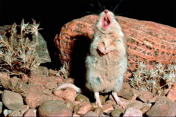 «Поющие» мыши – конкуренты канареек и соловьев