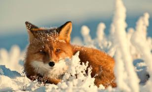 Жителей Якутии привлекут к ответственности за убийство лисы