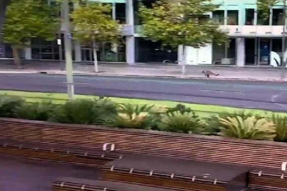 Карантин в Австралии вывел на улицы кенгуру