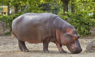 Бегемот сбежал из израильского зоопарка, но потом передумал и вернулся обратно