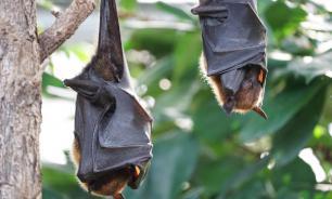 Биологи выявили сходство в микрофлоре летучих мышей и птиц