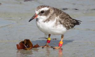 В Новой Зеландии ищут исчезнувшую популяцию редких птиц