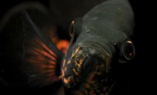 """У побережья Калифорнии обнаружили """"невидимых"""" глубоководных рыб"""
