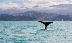 Власти Японии планируют возобновить китобойный промысел