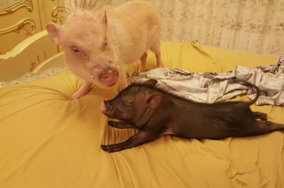 Свиньи в апартаментах знаменитостей