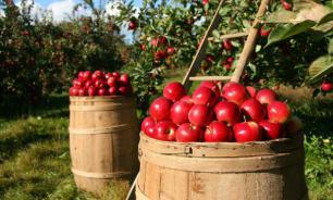 Селекционеры вывели яблоки, устойчивые к пятнистому антракнозу