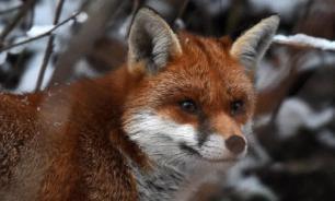 Генетики из США раскритиковали эксперимент с домашними лисами