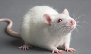 Мыши умеют снимать стресс и сострадать