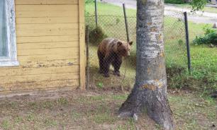 """Медвежонка, """"эмигрировавшего"""" в Эстонию, депортируют в Россию"""