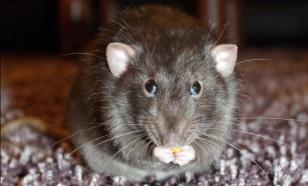 Отчего крыс никогда не тошнит?