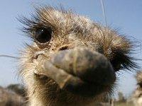Улизнувший из цирка страус бегает по столице Камчатки.