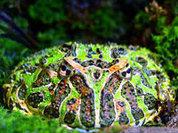 Дьявольская жаба - гроза динозавров
