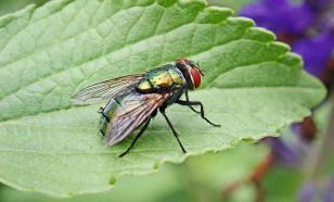 """Нейробиологи объяснили, как работает """"компас"""" в голове у мух"""
