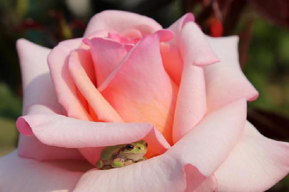 Как уберечь розы от мороза
