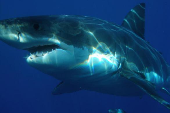 Акулы способны обучаться друг у друга