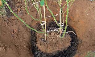 Как пересадить розы осенью