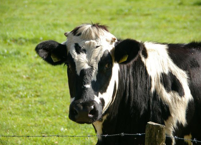 Коровам нравится живое общение с людьми - исследование