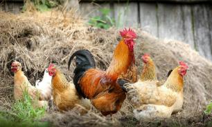 В Индонезии появился на свет цыпленок с четырьмя ногами
