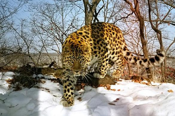Редкого вида леопардиха вышла к людям в Приморье. Видео