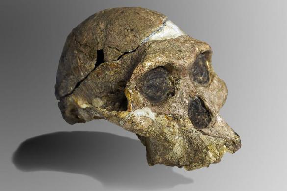 Мозг австралопитеков похож на мозг обезьян - комментарий эксперта