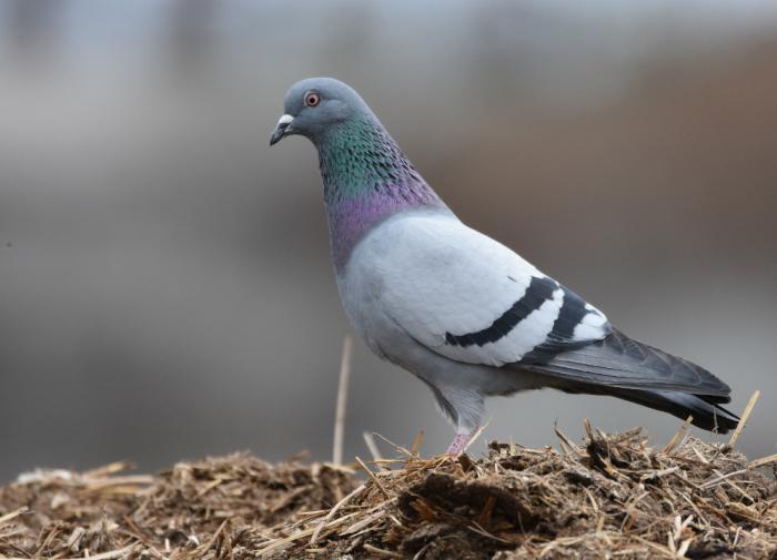 Они совсем не глупые: интересные факты о голубях