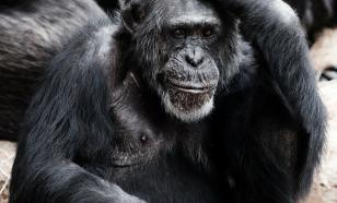 Зоологи: седина шимпанзе не связана со старостью