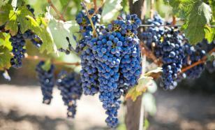 В Крыму к 2021 году планируют получить саженцы винограда из пробирки