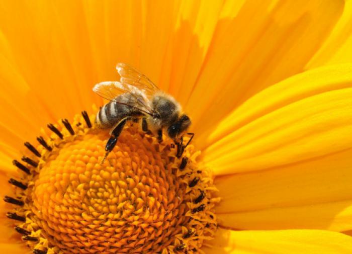 Энтомолог назвал причины сокращения численности пчёл
