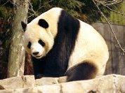 Страшнее панды зверя нет!
