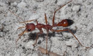 """Учёные раскрыли секрет внешности """"адских муравьёв"""""""