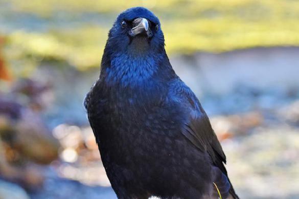 Австралийские ученые: вороны могут влиять на настроение сородичей