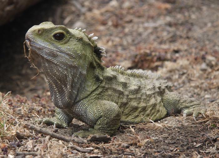 В Новой Зеландии найдены живые родственники динозавров