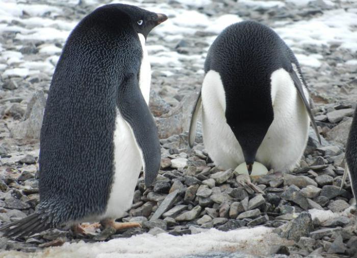 Пингвины Адели лучше размножаются в условиях меньшего количества льда