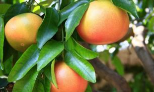 В Книгу рекордов Гиннесса попал трехкилограммовый грейпфрут