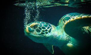 В Москве-реке поймали гигантскую черепаху