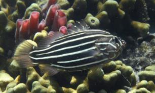 Ихтиологи обнаружили новый вид рыб из рода Tosanoides