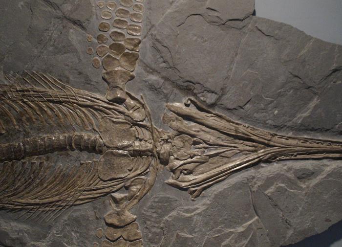 На Русском острове обнаружены останки ихтиозавра возрастом 247 млн лет