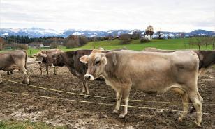 У якутских коров обнаружили гены холодоустойчивости