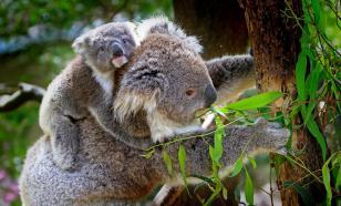 У коал обнаружили вирус, провоцирующий рак