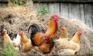 Кубань стала лидером по экспорту мяса птицы в Китай