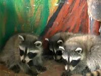 Еноты, лисы и волки сгорели в частном зоопарке в Соликамске.