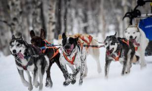 Ездовых собак начали разводить более 10 тысяч лет назад