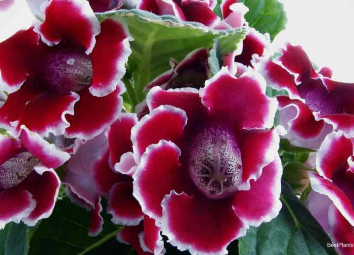 Что представляет собой цветок Глоксиния и ее особенности
