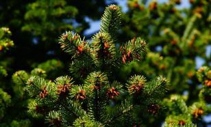 Хвойные растения помогут справиться с вирусами