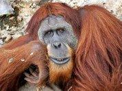 Планировать день умеют даже орангутаны