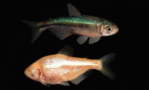 Биологи обнаружили в Индии крупнейшую в мире пещерную рыбу