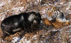 Козел Тимур предпочел тигра Амура козам-невестам