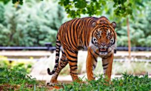 Тигр убил смотрителя Цюрихского зоопарка на глазах у посетителей