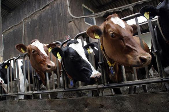 Виртуальная реальность улучшит качество молока подмосковных коров