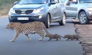 Даже леопарды учат детенышей переходить дорогу